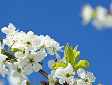 Blossoming apple tree - closeup shot against blue sky Stock Photo - 14475913