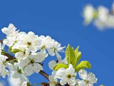 Blossoming apple tree - closeup shot against blue sky Stock Photo - 14475913