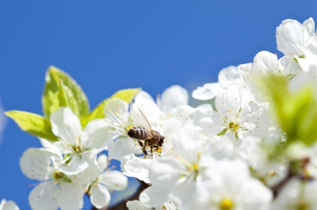 Bee on apple blossom; closeup of a beautiful spring apple tree against blue sky and bee pollinating apple bloom photo