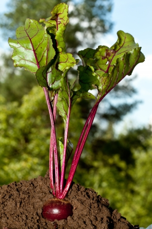 Beet growing in soil - closeup outdoors shot photo