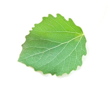 aspen leaf: Aspen leaf isolated on white