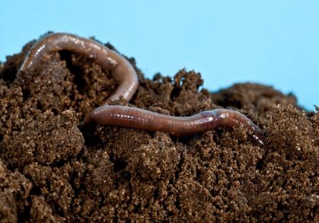 Earthwarm in a heap of soil 스톡 콘텐츠