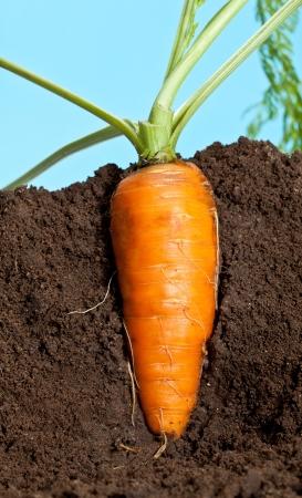 Big carrot growing in soil Stock Photo