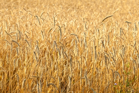 Ripe wheat in a field Stock Photo - 15910105