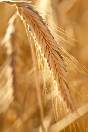 Spikelet of ripe wheat Stock Photo - 15910081