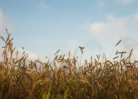 Ripe wheat in a field Stock Photo - 16427096