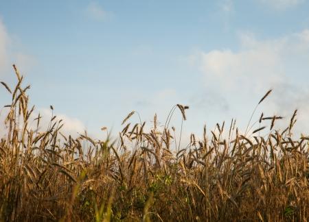 Ripe wheat in a field Stock Photo - 16427096
