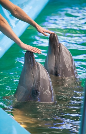 Two  human hands touching dolphins Stock Photo - 16567141