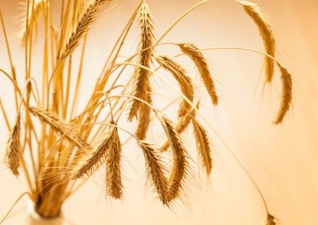 Closeup of golden wheat on light background Stock Photo - 17666499