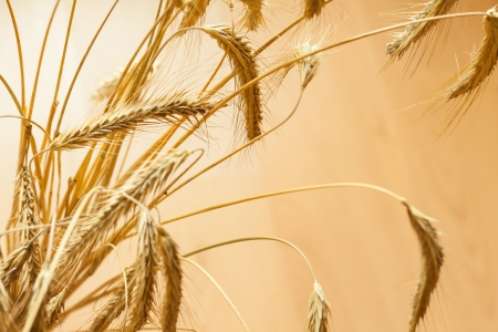 Closeup of golden wheat on light background Stock Photo - 17666552