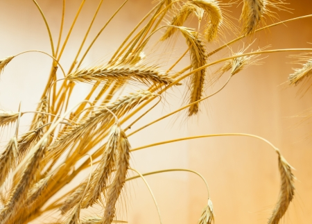 Closeup of golden wheat on light background Stock Photo - 17666551