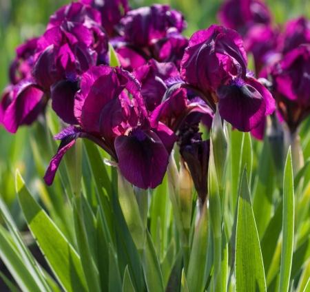iris flower: Flowerbed of purple irises in a garden