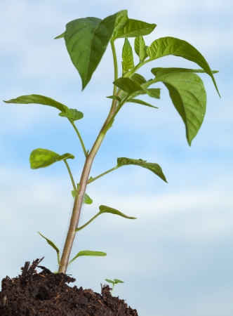 Green tomato plant growing in soil on blue sky background photo