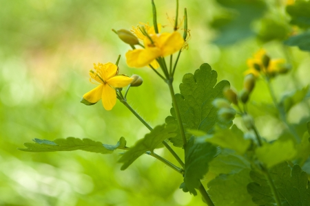 Flowers of Chelidonium growing in summer greenery