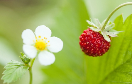 Wild strawberry - blossom and sweet red berry photo