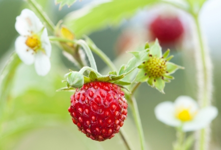 Wild strawberry - blossoms and sweet red berries photo