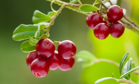 Ripe berries of cowberries growing in the forest - closeup shot