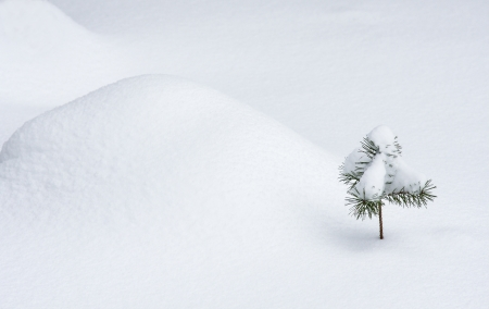 Young pine covered with snow; winter landscape photo