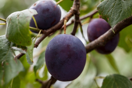 Ripe plums growing on the branch photo