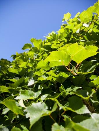winegrowing: Green vine background - macro shot