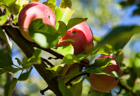 pome: Ripe apples on a branch in a garden