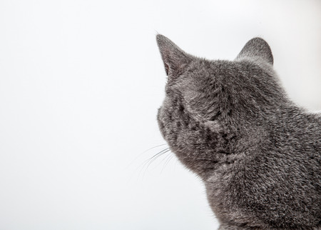 neutral background: Grey cat looking back, neutral background
