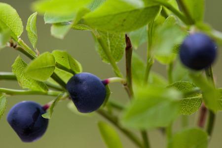 bilberry: Vaccinium myrtillus (bilberry); macro shot