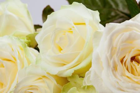 roseleaf: Beautiful roses background - closeup shot