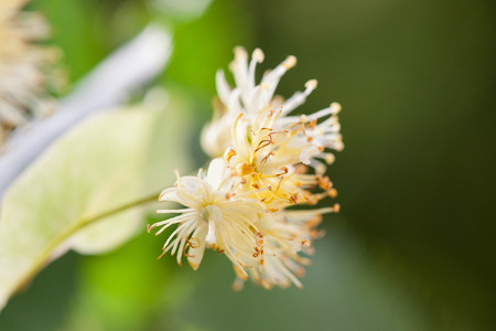lime blossom: Lime blossom on natural background