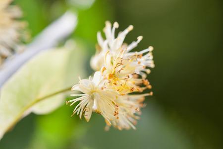 officinal: Lime blossom on natural background