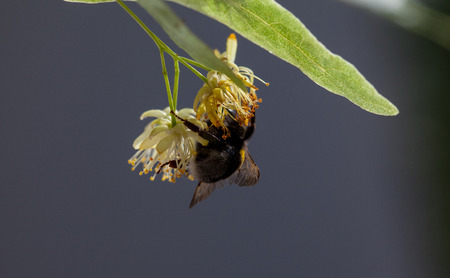 lime blossom: Bumblebee on the lime blossom, natural background
