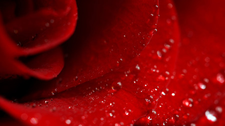 roseleaf: Close-up of a rose-petals with drops of water