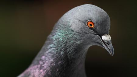 beak doves: Pigeon (Columba livia)