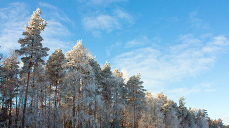 pinus sylvestris: Conifer trees covered with snow; winter