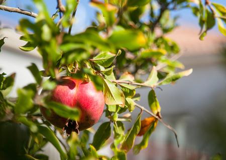 pomegranate: Ripe pomegranate on a branch - closeup shot Stock Photo