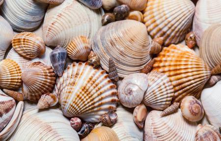 seashell: Seashells background - macro shot of beautiful seashells