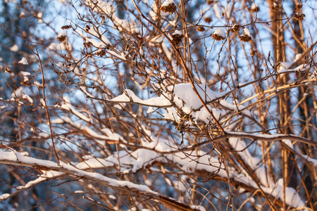 covered in snow: Fragment of branchs covered snow, closeup shot Stock Photo