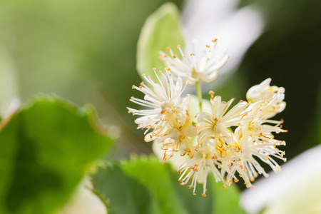 blossoming yellow flower tree: Lime blossom on natural background