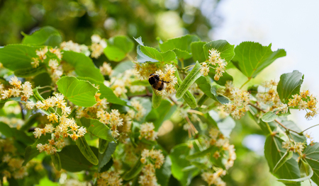 officinal: Lime blossom on natural background
