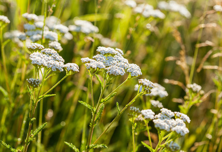 milfoil: milfoil on the summer meadow