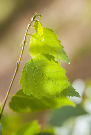 foliar: Fragment of a birch branch - summer background