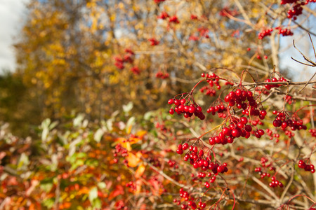 Closeup of guelder-rose tree with bunches of red ripe berries Imagens