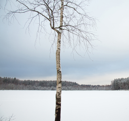 Winter landscape: a young birch in a field covered with snow