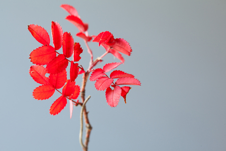 Closeup of a branch with bright red leaves on gray background, elements of Christmas decoration