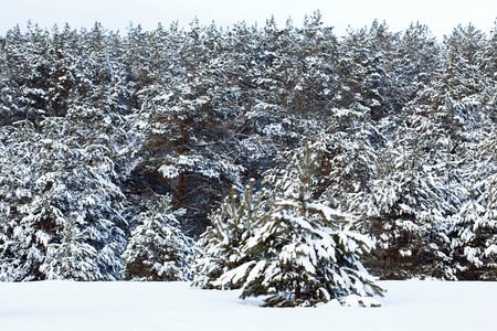 Winter landscape - fir trees covered with snow