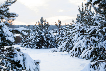Beautiful winter landscape - fir trees covered with snow Stock fotó