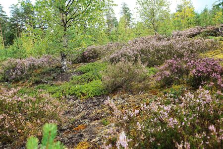 Beautiful natural forest view with heather on the foreground