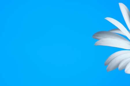 Blue background and petals of a daisy flower