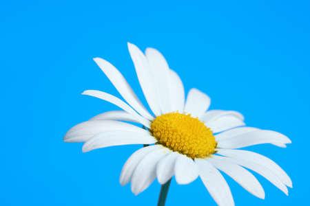 Beautiful daisy flower on blue background Foto de archivo