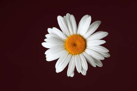 Beautiful daisy flower on dark background